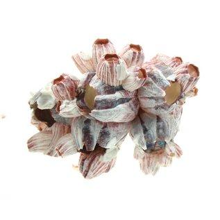 SEAURCO Medium Barnacles 13-17cm Class 1