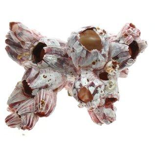 SEAURCO Small Barnacles 7-12cm Class 1
