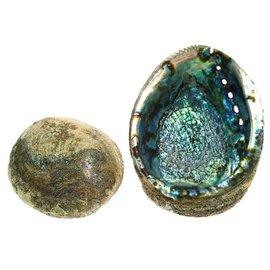 Blue Abalone 17cm
