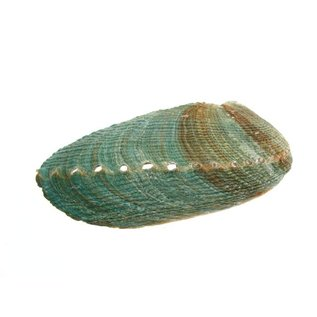 Blue Abalone 15cm