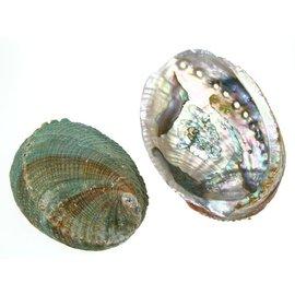 SEAURCO Blue Abalone 15cm