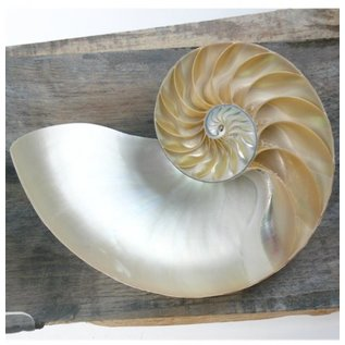 SEAURCO Nautilus Chambered Sidecut.