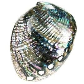 Polished Blue Abalone 14-16cm