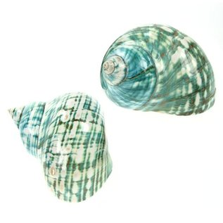 SEAURCO Polished Jade Turbo 9cm