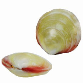 SEAURCO Polished Tigrina Seashell Collectors Shell