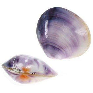 SEAURCO Polished Violet Mussel 2-3cm