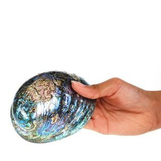 Polished Paua Shell 12cm