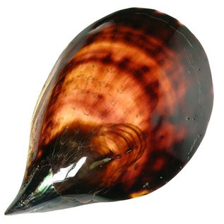 Polished Black Pen Shell 20cm