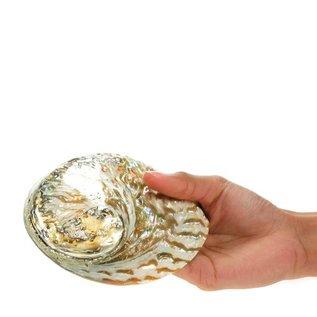 Polished Opal Abalone 13cm
