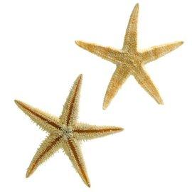 Brittle Starfish 2.5cm