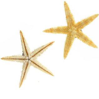 Brittle Starfish 5cm