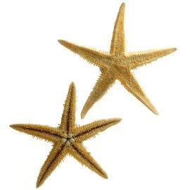 Brittle Starfish 7.5cm