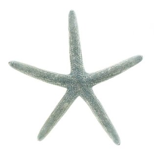 Starfish Natural Blue 4-5""