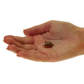 SEAURCO Tiny Cowrie 1-1.5cm