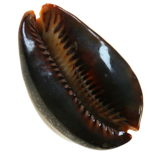 SEAURCO Black Humped Cowrie