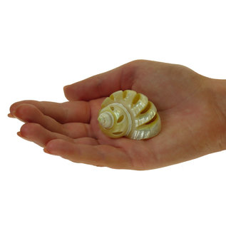 SEAURCO Gold Mother of Pearl Spiral Goldmouth 3cm