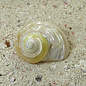 SEAURCO Large Goldmouth Mother of Pearl 4cm