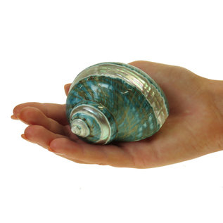 SEAURCO Polished Jade Turbo with Mother of Pearl Stripe 6cm