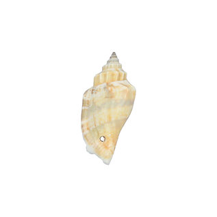 SEAURCO Ivory Bear Conch drilled - x 10