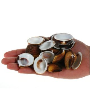 SEAURCO Assorted Brown Dog Cockles - drilled x 10