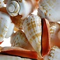 SEAURCO Blood Mouth Conch - drilled x 10