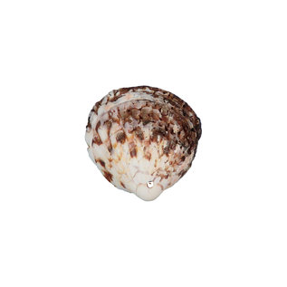 SEAURCO Tiger Cockles - drilled x 10