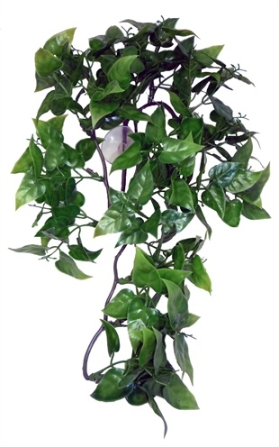 Komodo Komodo philodendron plant
