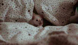 Wat kunt u doen tegen ratten?