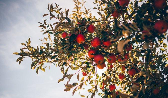Bladluis voorkomen in uw appelboom? Zo doet u dat!