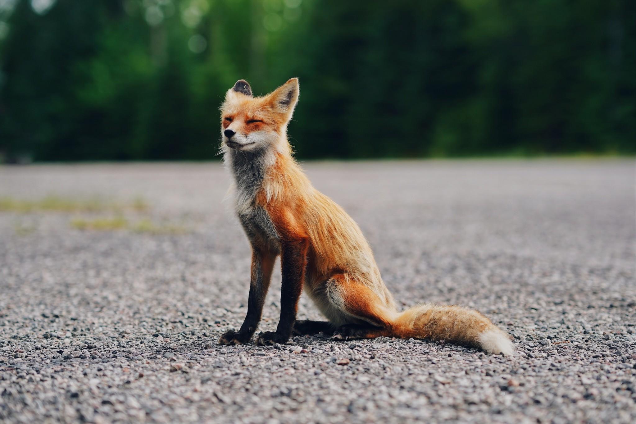 Vraag & antwoord over de vos