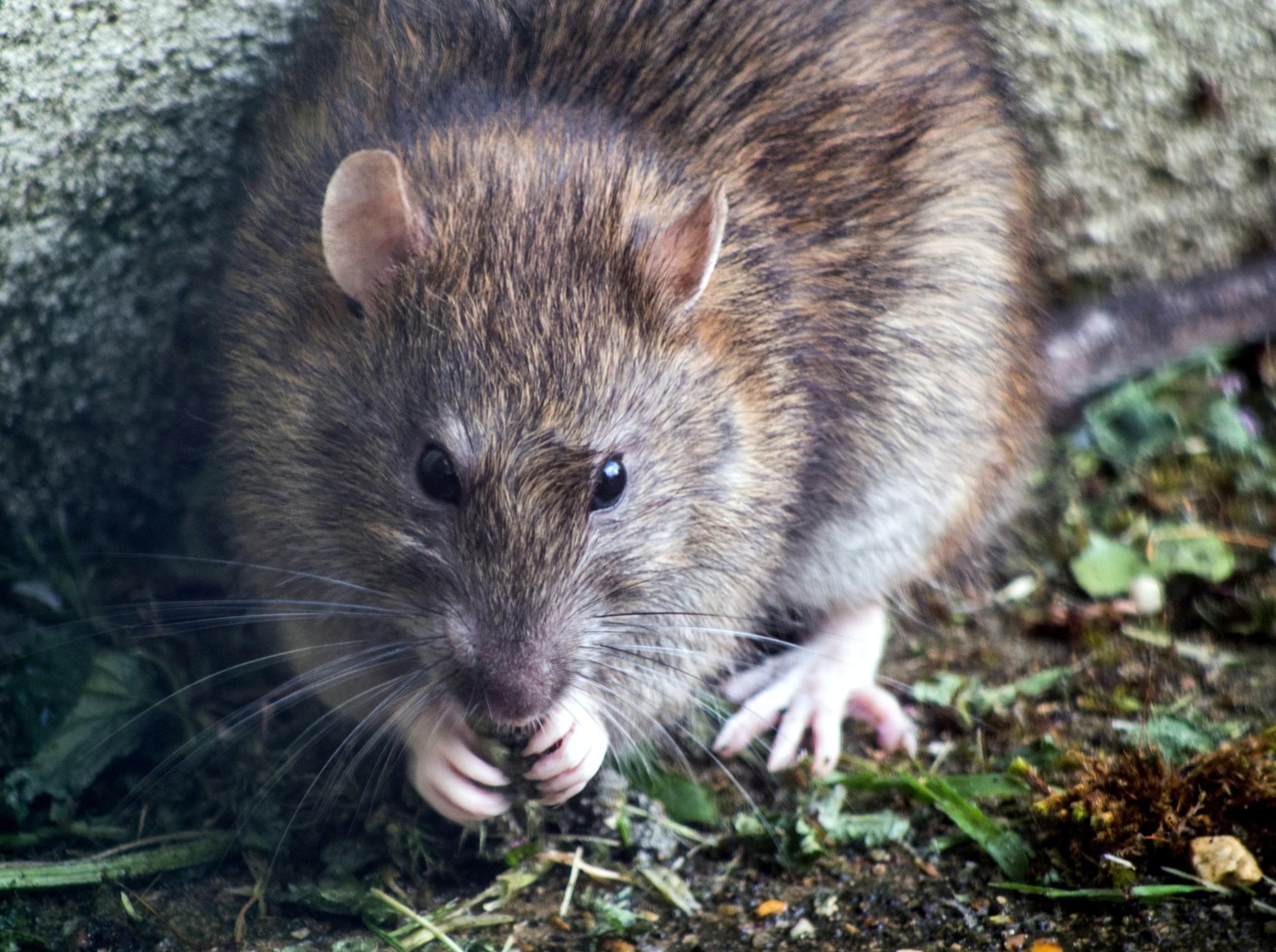 Ratten vangen: dit helpt jou daarbij