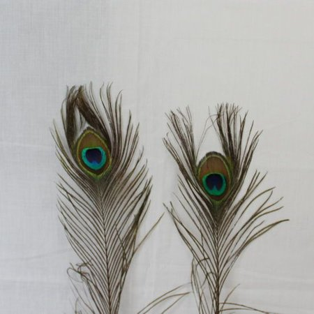 Pauwenveren met oog 100 stuks - 110 cm