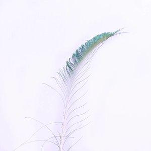Janshop Zwaardveren pauw 20 stuks - 70 tot 80 cm