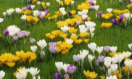 CROCUS - crocus - honeybees and bumblebees love them