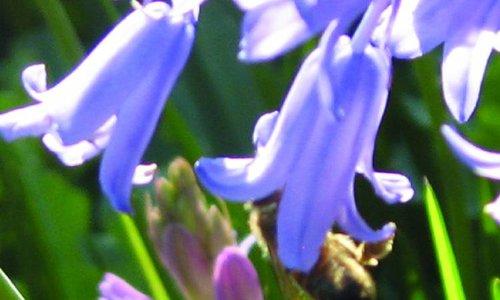 HYACINTHOIDES - boshyacint. Vrolijk onder de heg.