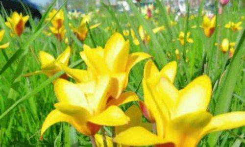 Botanische tulpjes - kunnen zich goed vermeerderen, elk jaar worden het er meer!