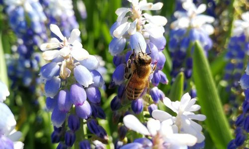 Grape hyacinths are full of nectar