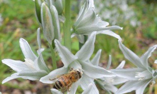 Vogelmilch, Überraschende Bienen- und Hummeln Anlage