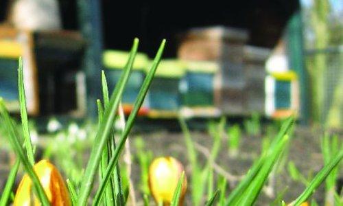 Die frühesten Blumen für Honigbienen voller Pollen und Nektar