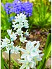 Striped squill - puschkinia libanotica  - chemical-free grown