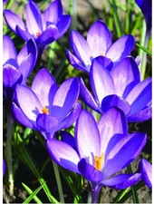 Crocus tom. Ruby Giant