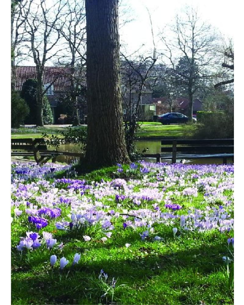 Dutch crocus - crocus vernus Grand Maitre -chemical free grown