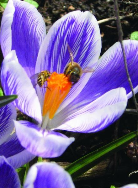 Crocus vernus King of Striped