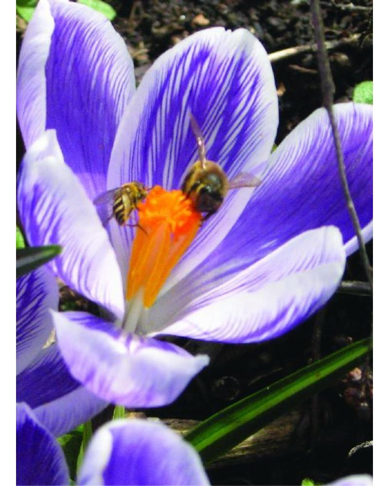 Grootbloemige krokus King of Striped - crocus vernus king of the striped  - chemievrij geteeld