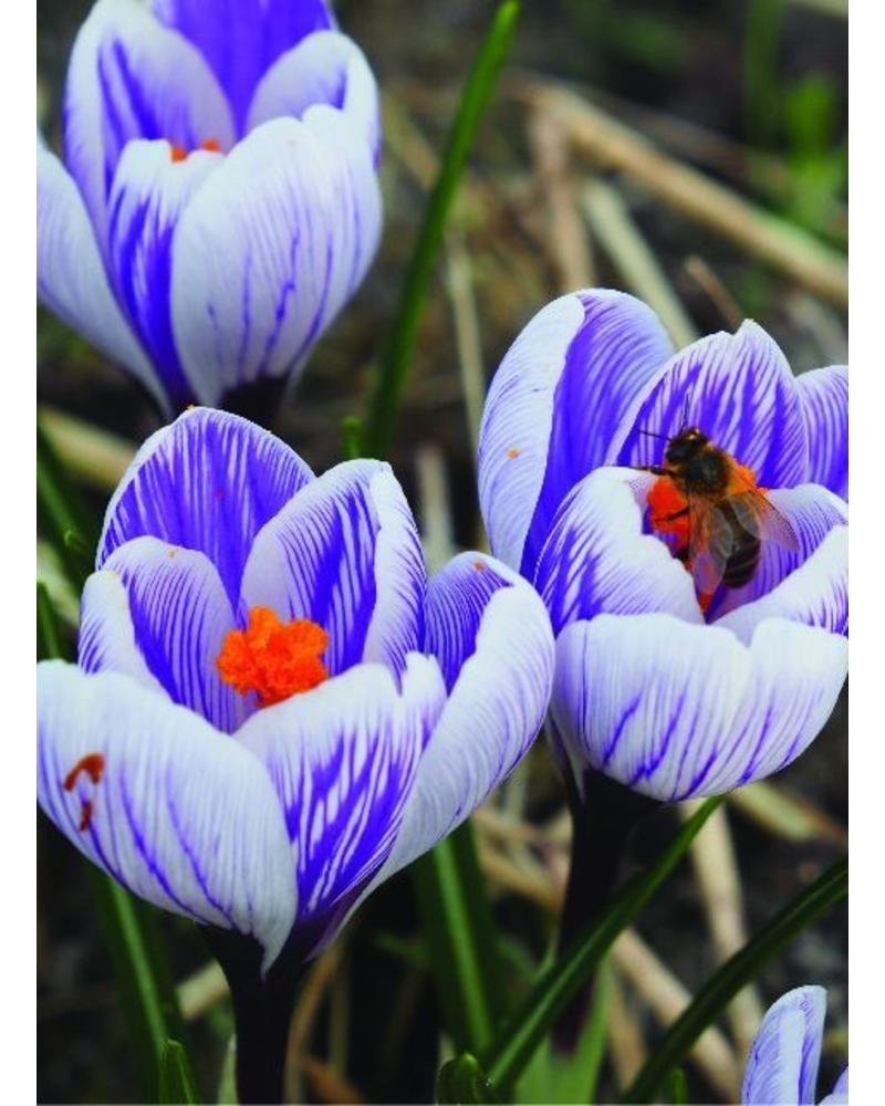 Krokus King of Striped - crocus vernus king of striped - chemiefreier Anbau