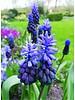 Broad-leaved grape hyacinth - muscari latifolium - chemical free grown