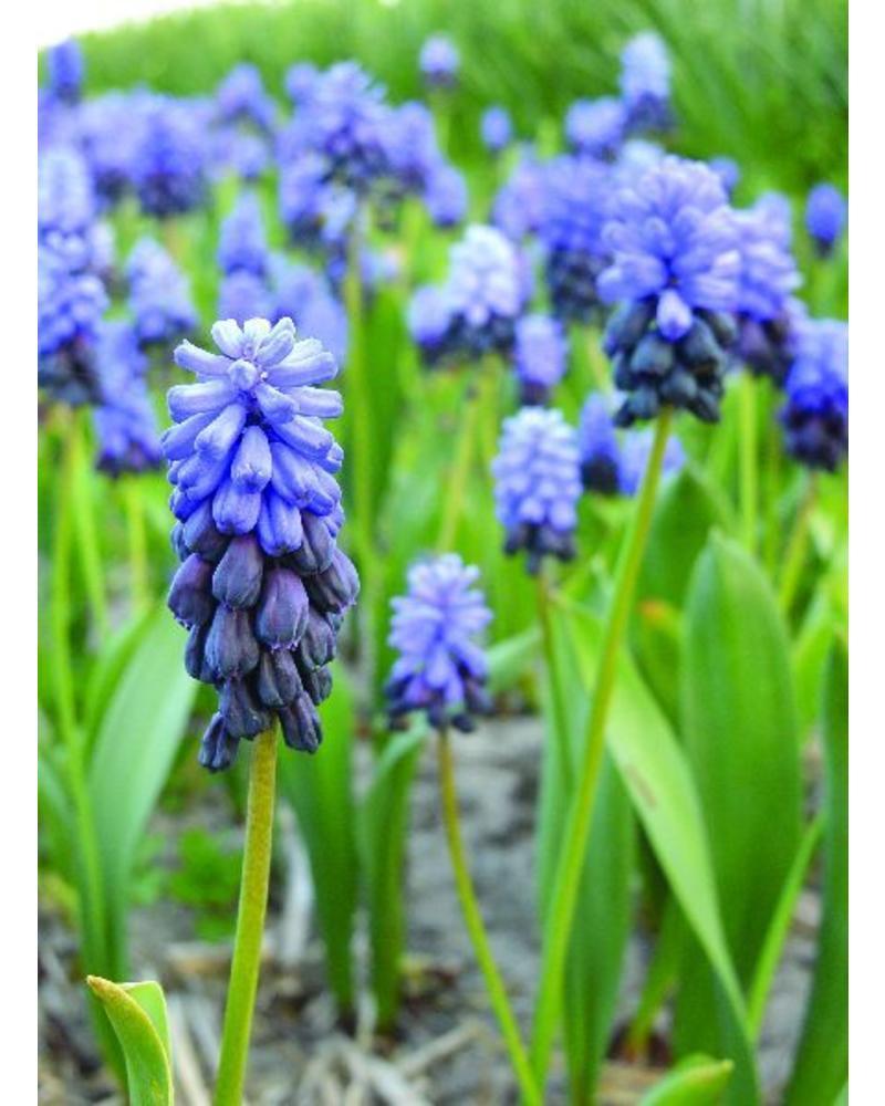 Broad-leaved grape hyacinth - muscari latifolium