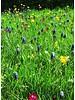 Traubenhyazinthe - muscari latifolium - chemiefreier Anbau