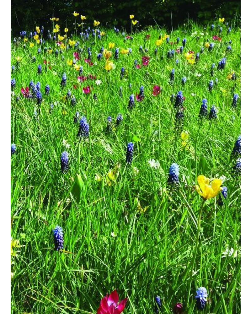 Druifje dubbelblauw - muscari latifolium - chemievrij geteeld