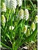 Traubenhyazinthe - muscari aucheri white magic - ohne Chemie gezüchtet